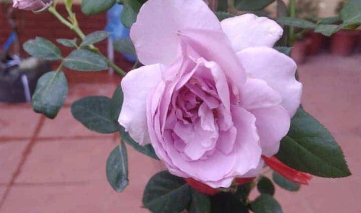 hoa hồng tươi lâu