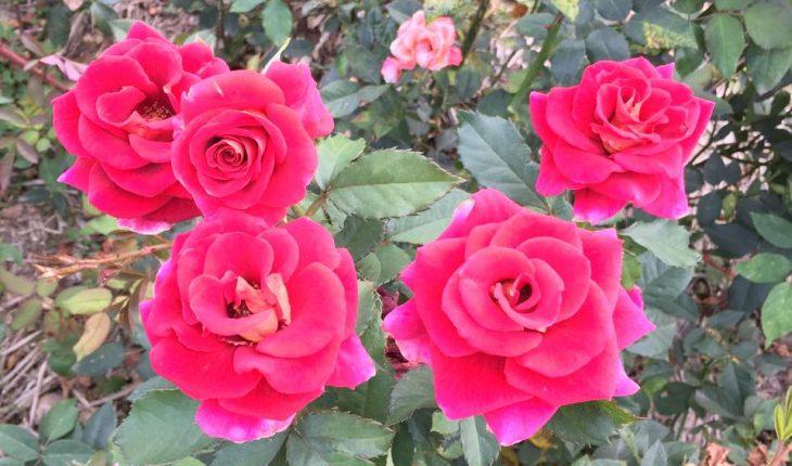 Ý nghĩa của hoa hồng