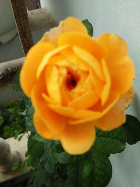 Hoa hong vang