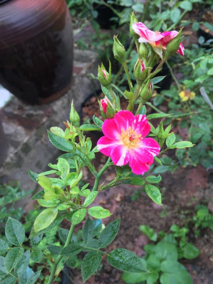 Hoa hồng rễ trần cho hoa