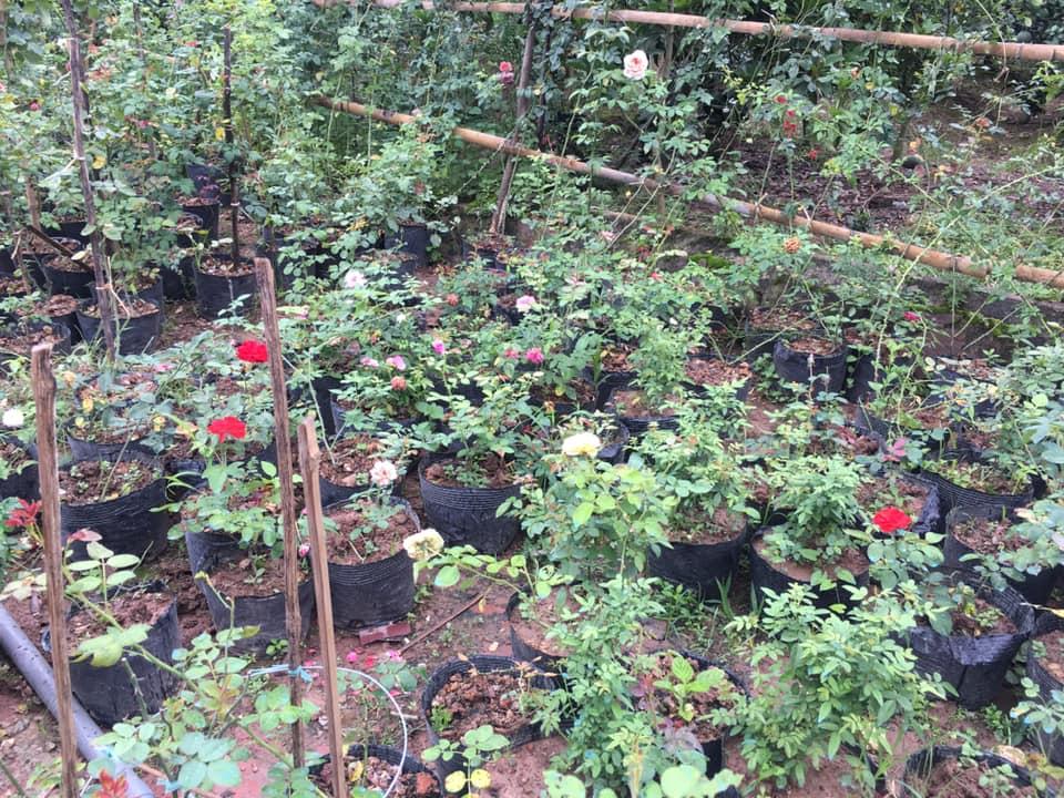 Hoa hồng rễ trần sau 2 tháng trồng