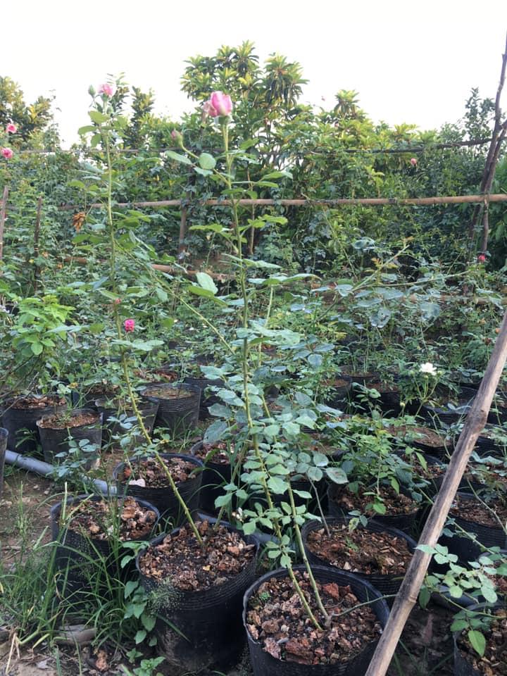 Hoa hồng rễ trần phát triển sau 3 tháng trồng