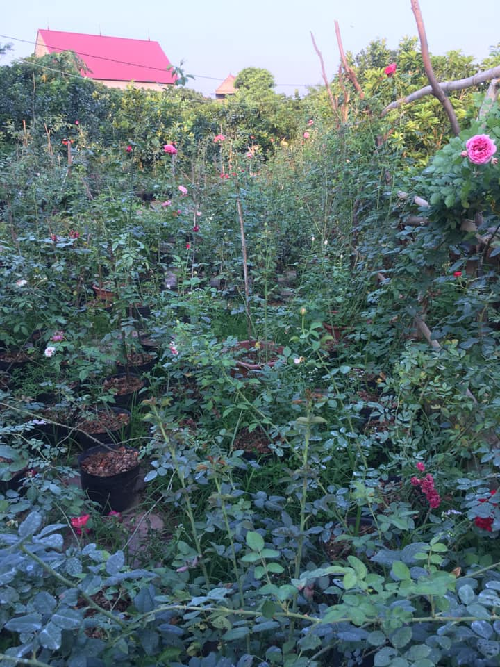 Hoa hồng rễ trần ra chồi sau khi bón phân