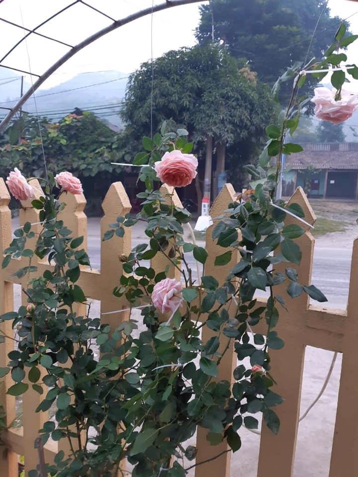 Hoa hồng leo thường được trồng ở hàng rào