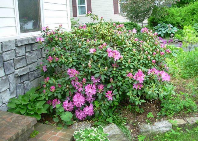 Hoa đỗ quyên được trồng làm cây cảnh sân vườn