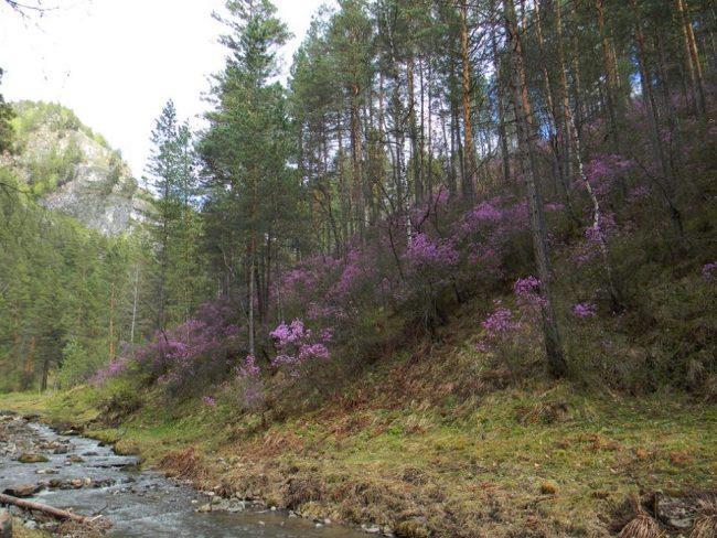 Hoa đỗ quyên trong tự nhiên