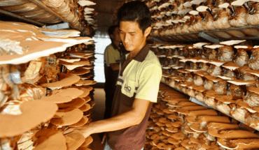các loại nấm linh chi