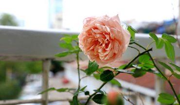 Hoa hồng Abraham Darby