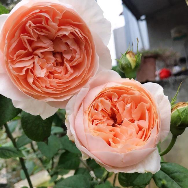 Hoa hồng ngoại