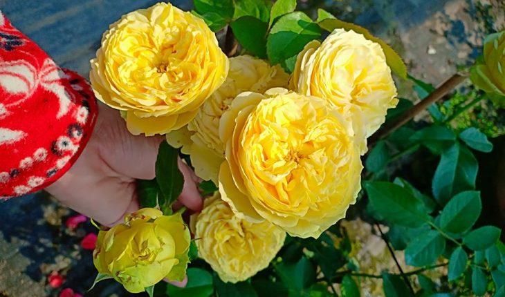 các loại hồng dễ trồng