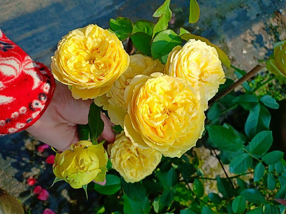 Hoa hồng Catalina