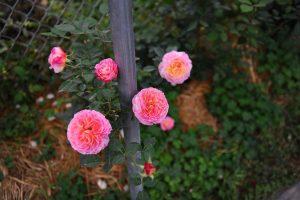 Hoa hồng Claude Monet