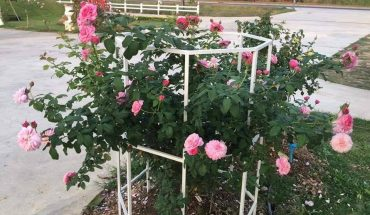 chăm sóc hoa hồng trong chậu