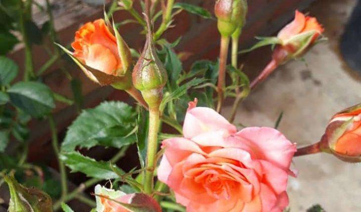 Tưới nước cho cây hoa hồng