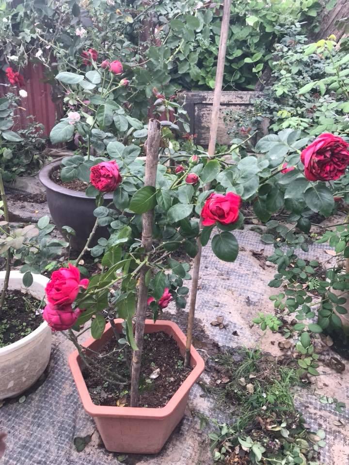 Hoa hồng Red Eden