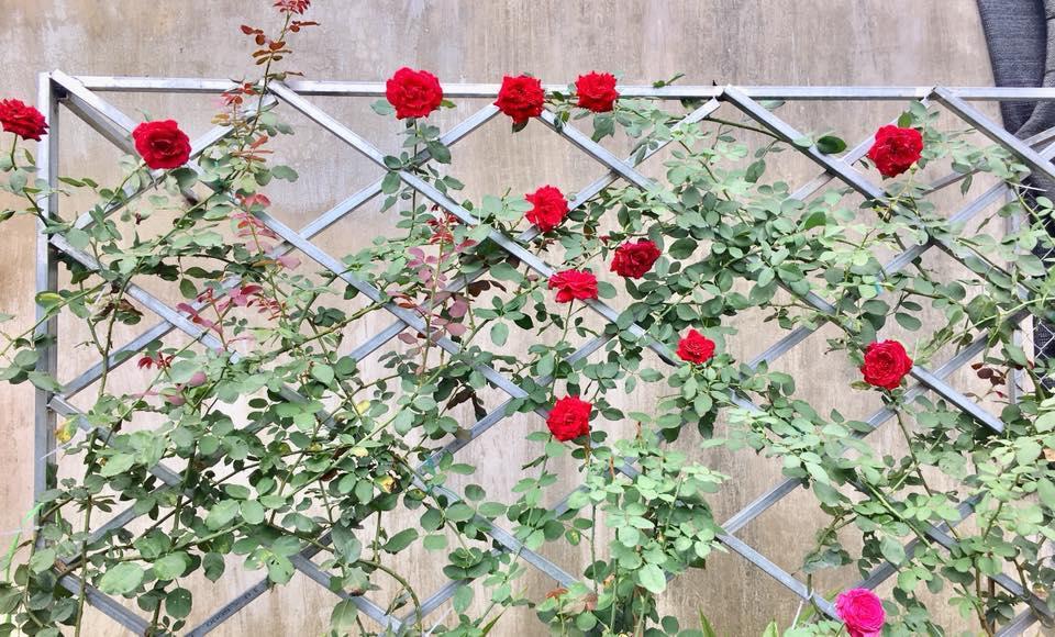 Hoa hồng cổ Hải Phòng