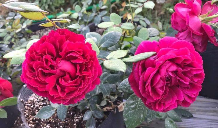 giống hồng cổ Sapa