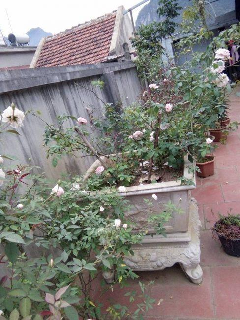 Hoa hồng Văn Khôi