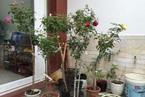 Hoa hồng Jubilee