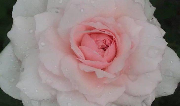 Hoa hồng Misaki
