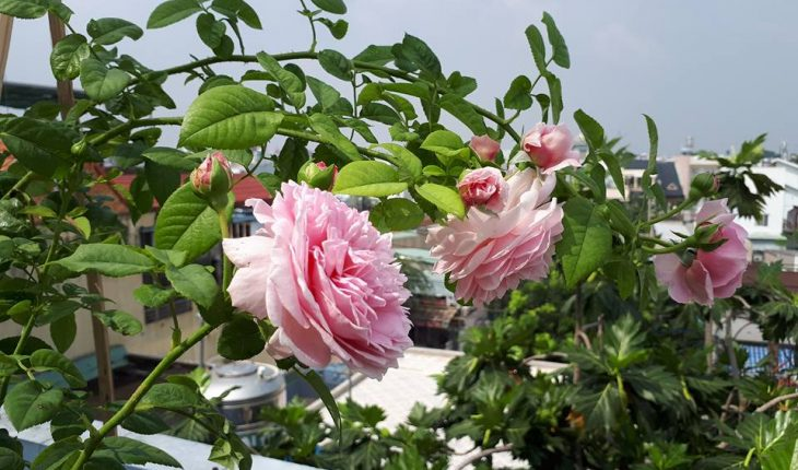 Hoa hồng Spirit of Freedom
