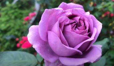 trồng và chăm sóc hồng ngoại