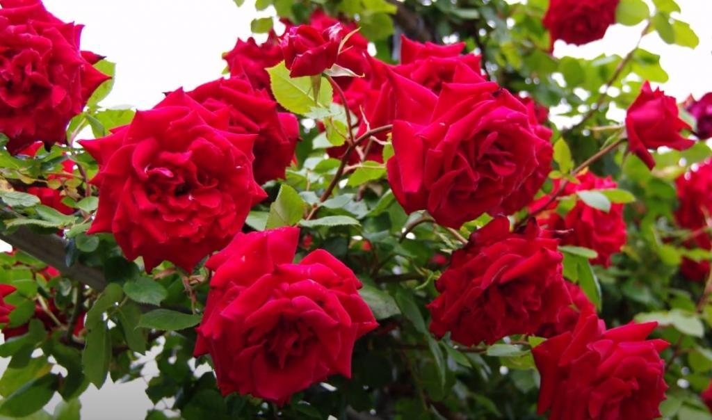Top 7 loại hoa hồng đẹp nhất Việt Nam và kĩ thuật chăm sóc hiệu quả