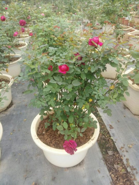 hoa hồng leo trồng trong chậu