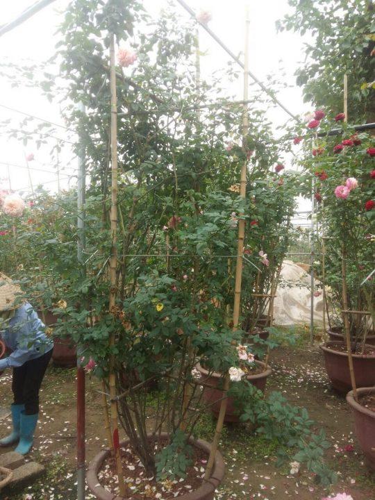 hoa hồng leo trưởng thành