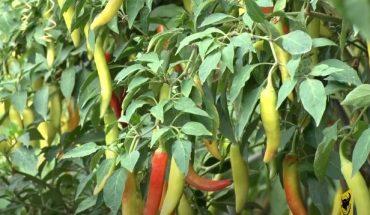 Kỹ thuật trồng ớt sừng vàng