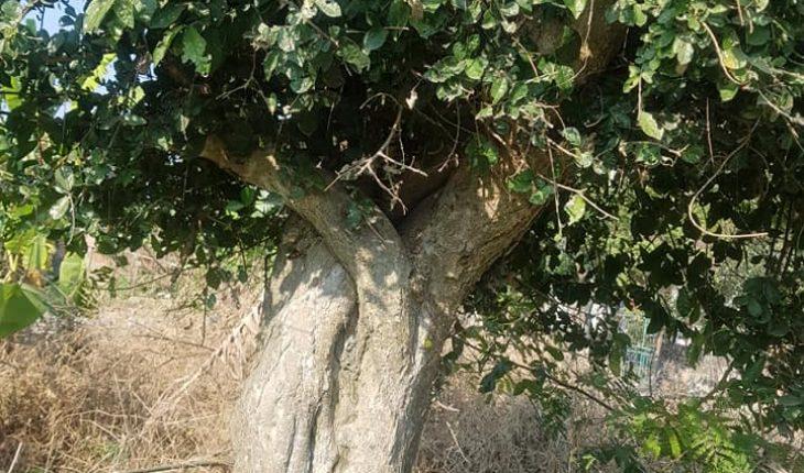 cây duối